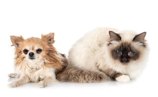 Бирманский кот и чихуахуа