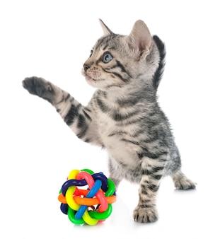スタジオでベンガル子猫