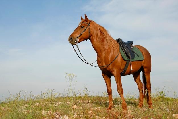 茶色の種馬