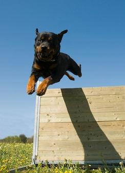 Ротвейлер прыгает через забор