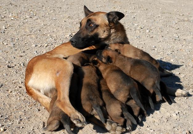 Самка пастуха и щенки