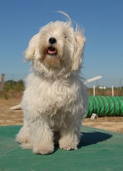 Маленькая белая собака
