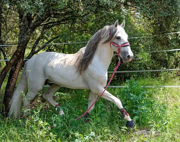 白いアンダルシア馬