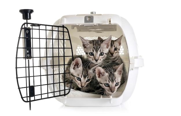 犬小屋のベンガル子猫