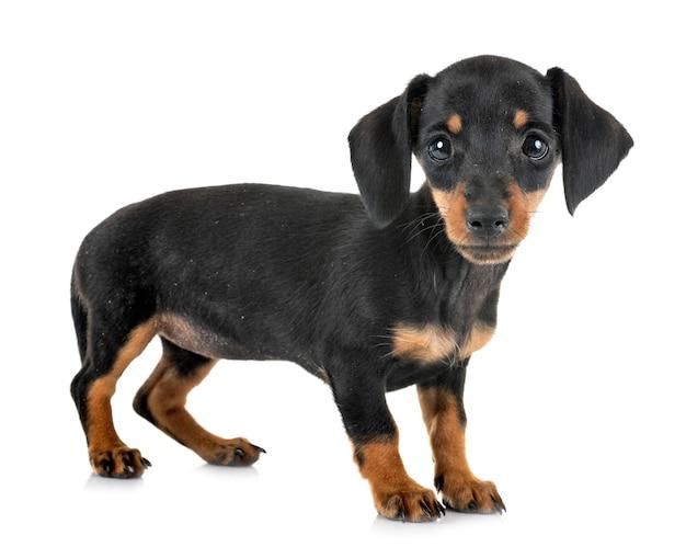 子犬ミニチュアダックスフント