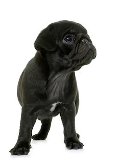 子犬黒パグ