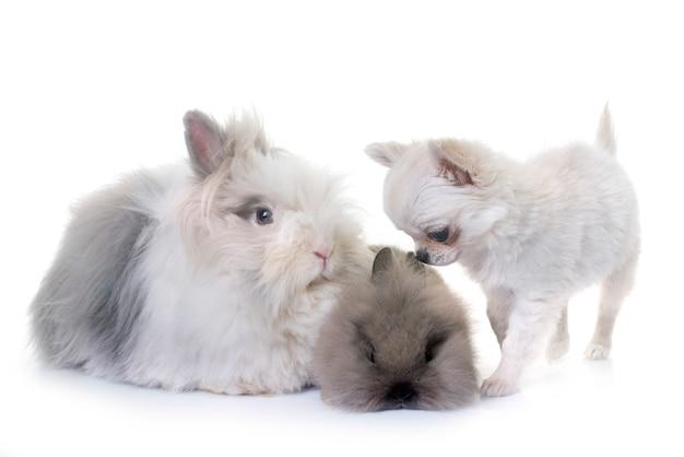 Карликовый кролик и щенок чихуахуа
