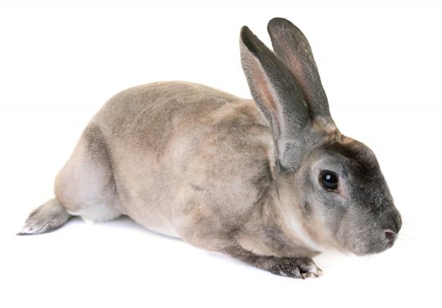 ジベリンレックスウサギ