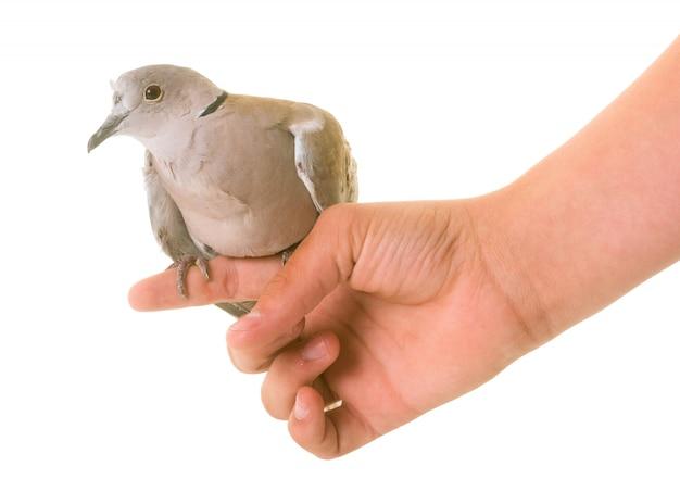 ユーラシア襟付き鳩