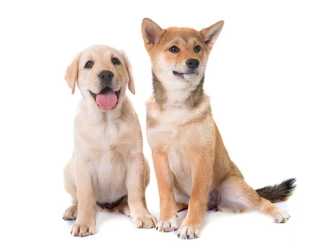 子犬ラブラドールレトリーバーと柴犬