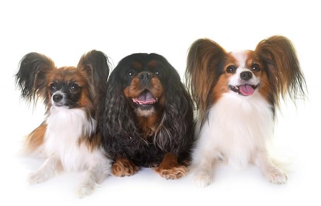 キャバリアキングチャールズとパピヨン犬