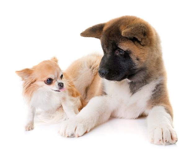 子犬アメリカの秋田とチワワ