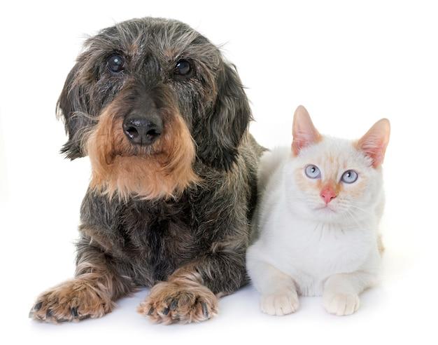 Такса и котенок