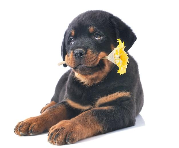 子犬ロットワイラー
