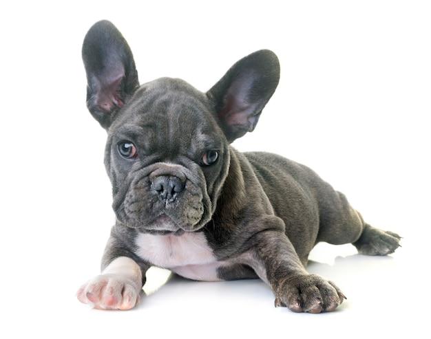 子犬フレンチブルドッグ