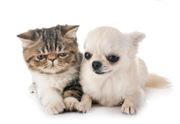 エキゾチックなショートヘア子猫とチュワワ