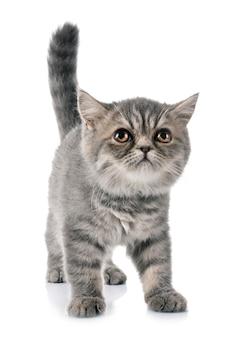 エキゾチックなショートヘア子猫