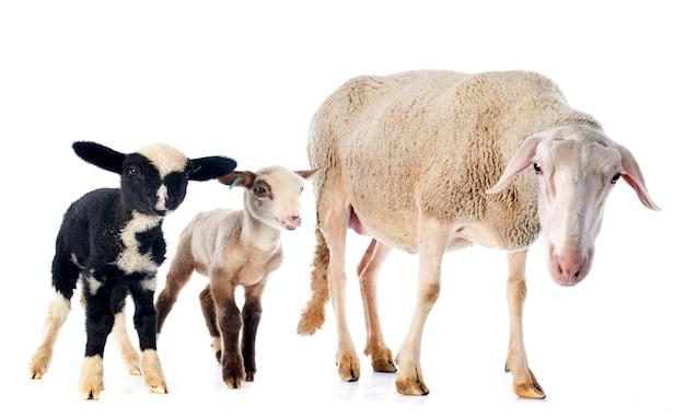 大人の羊と子羊