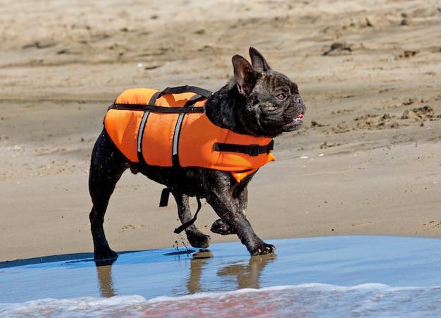Французский бульдог со спасательной курткой