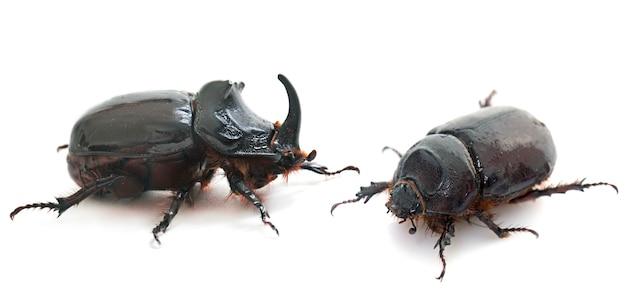 Пара жук-носорог европейский