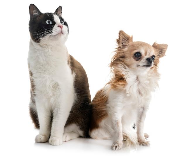 Сиамская кошка и чихуахуа
