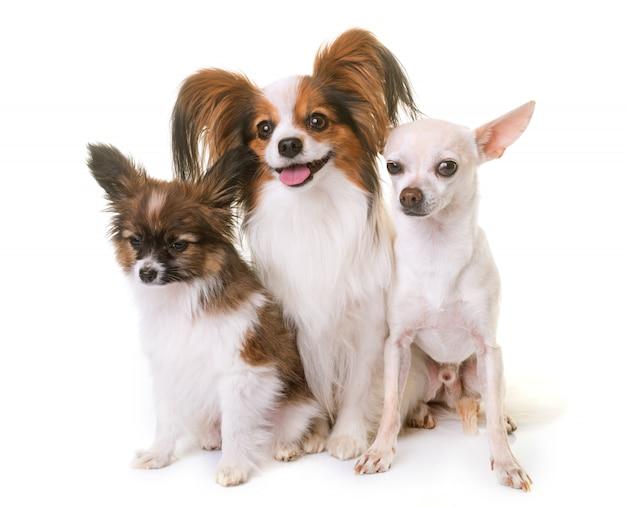 パピヨン犬とチワワ