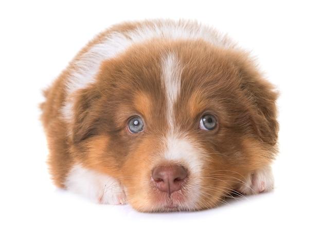 オーストラリアンシェパードの犬