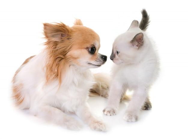 子猫とチワワ