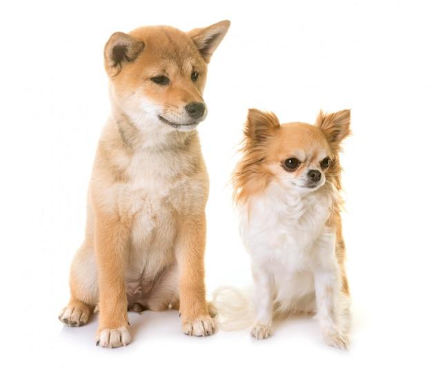 子犬柴犬とチワワ