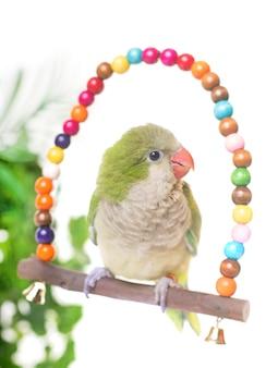 Монах-попугай