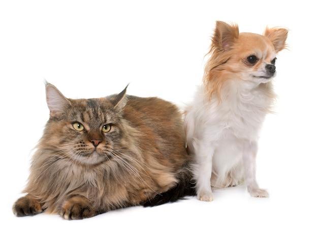 Мейн кун кошка и чихуахуа
