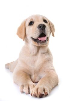 子犬のラブラドールレトリーバー