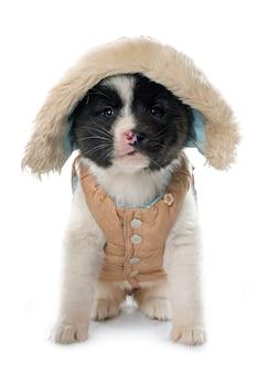 服を着た子犬アメリカの秋田