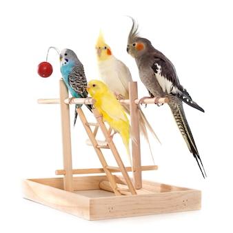 Играет попугай и петушок