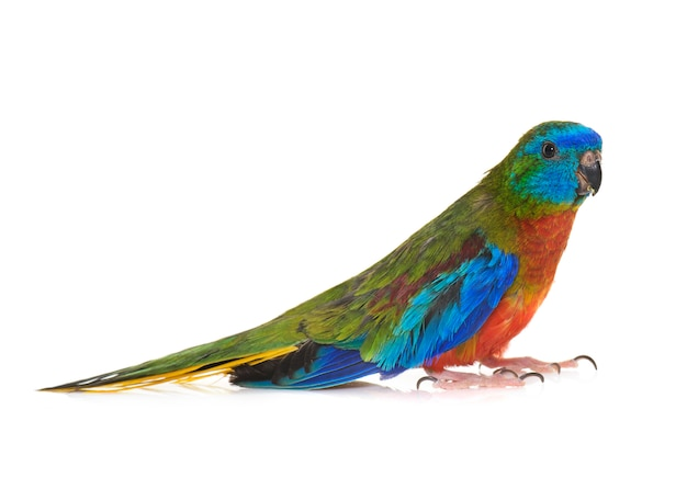 Бирюзовый попугай изолирован