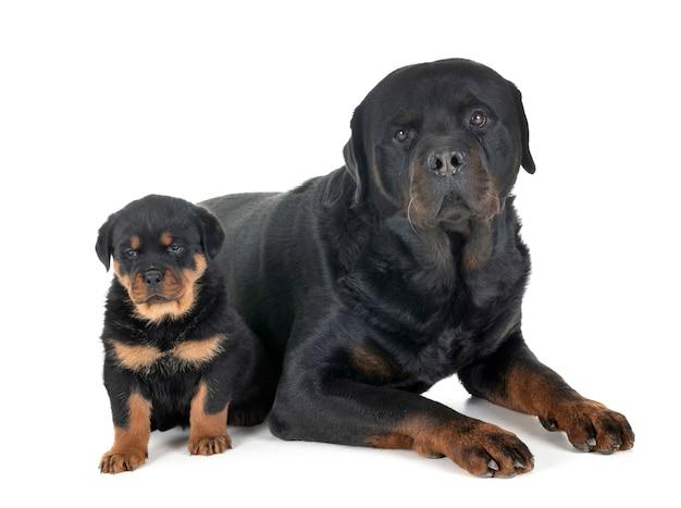 子犬と大人のロットワイラー