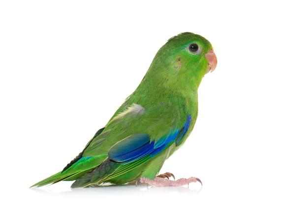 Тихоокеанский попугайчик изолирован