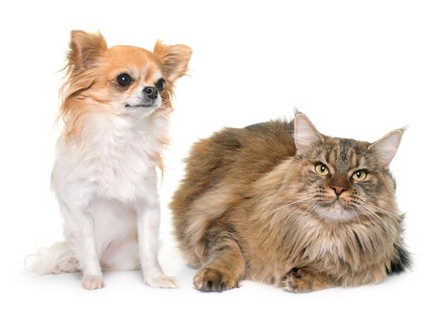 メインクーン猫とチワワ