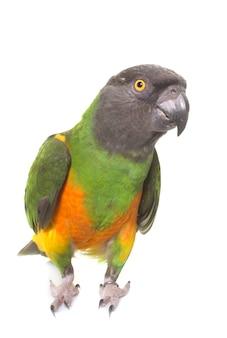 Попугай сенегал изолированный