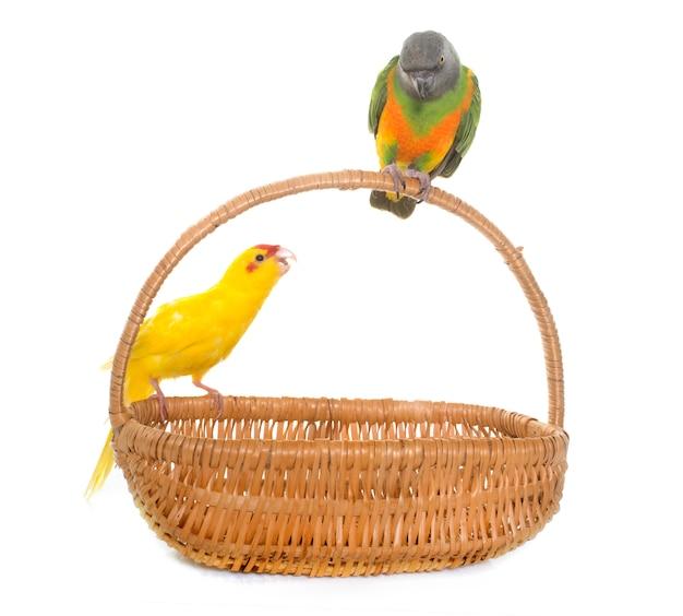 Сенегал попугай и какарики изолированы