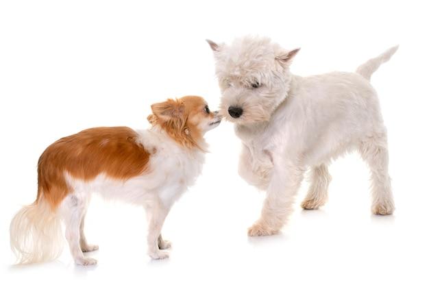 子犬ウエストハイランドホワイトテリアとチワワ