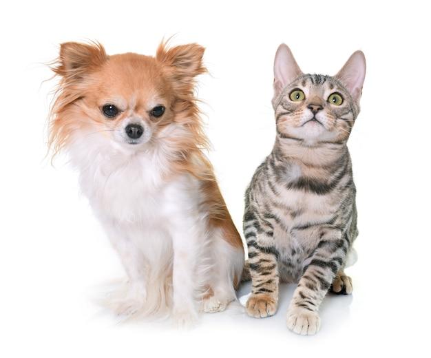 ベンガル子猫とチワワ