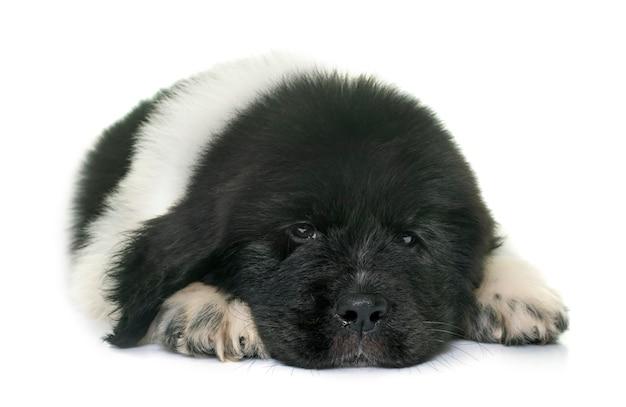 黒と白の子犬ニューファンドランド犬