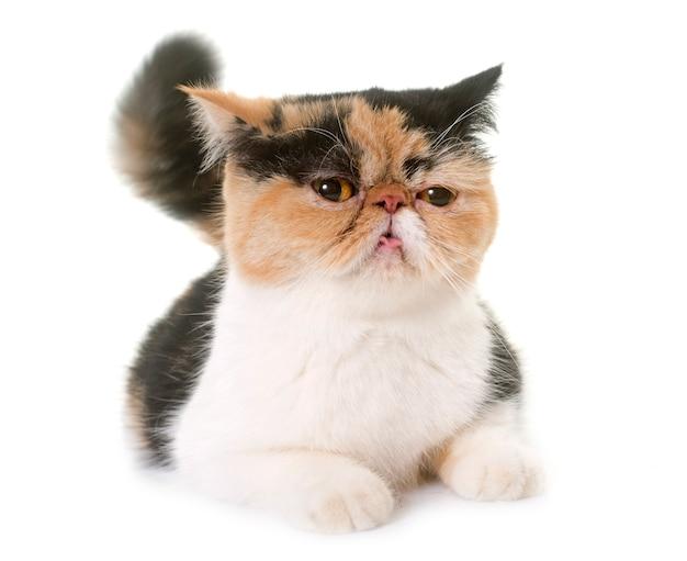 熱で女性のエキゾチックなショートヘアの猫