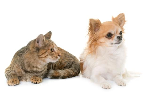 トラ子猫とチワワ