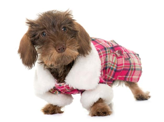 服を着た子犬ワイヤー髪ダックスフント