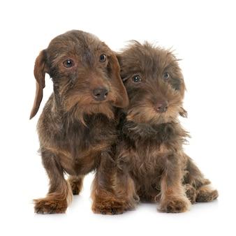 子犬と大人のワイヤー髪ダックスフント
