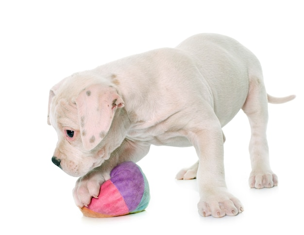 子犬のアメリカンブルドッグの演奏