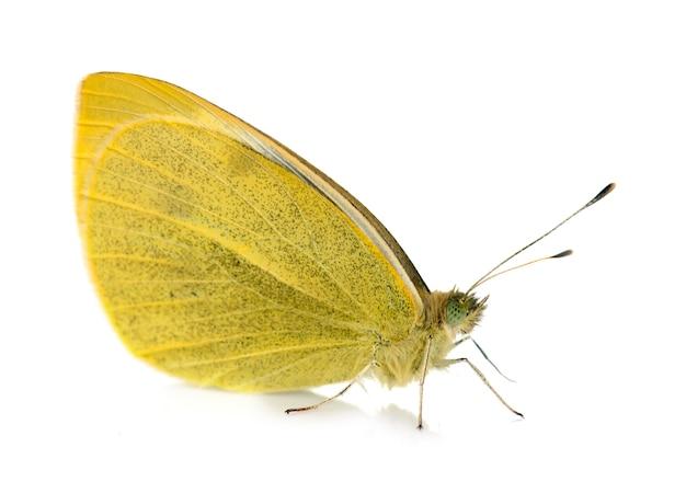 黄色のオオモンシロチョウ