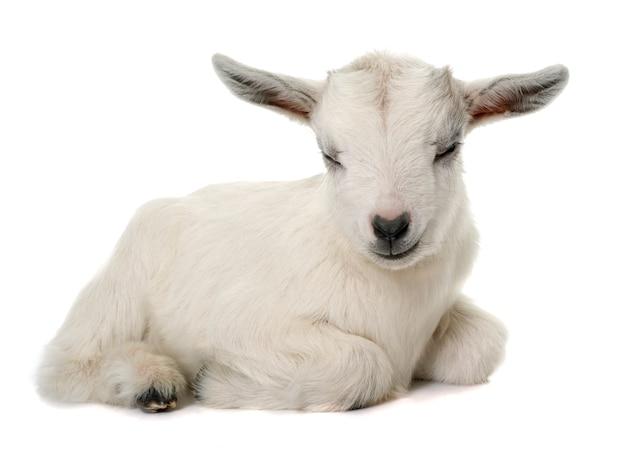 Белый молодой козел